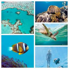 Here at travel_whitsundays we LOVE our reef... here are just some of the reasons why.....  30 species of #whales  #dolphins & #porpoises have been recorded in the Great Barrier Reef!  More than 1500 fish species live on the #reef - in fact around 10% of the world's total fish species can be found just within the Great Barrier Reef!  6 species of sea #turtle come to the reef to breed! Let's talk size..... #sizematters  The Great Barrier Reef is the world's largest living organism... it is…