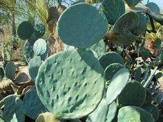 Giant Prickly Pear Cactus, Opuntia robusta. Also Called: Nopal Tapón, Bartolona, Silver Dollar Prickly Pear, Dinner Plate Cactus, Opuntia guerrana, Opuntia robusta var. guerrana. Xeriscape Landscaping Plants For The Arizona Desert Environment. Pictures, Photos, Information, Descriptions, Images, & Reviews. Cactus.