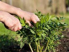 Korn, Parsley, Food Art, Herbs, Vegetables, Eat, Green, Plants, Herb