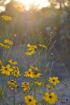coreopsis leavenworthii by annie schiller, via Flickr. Florida Native Plants Nursery
