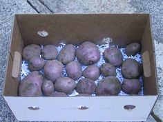 How to store potatoes for use and for planting next year - and use up some of that paper from your paper shredder to boot!