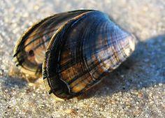 over een weekdier, de mossel Rijk: Animalia (Dieren)  Stam: Mollusca (Weekdieren)  Klasse: Bivalvia (Tweekleppigen)  Orde: Mytiloida  Familie: Mytilidae  Geslacht: Mytilus
