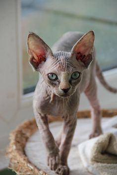 Hairless Sphynx kitten
