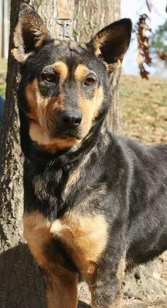 Dolly is a 2 year old German Shepherd mix.  She is full grown at around 40 lbs.  Dolly walks well on a leash, seems to be housebroken, and gets along well with other dogs.  She is so happy and loves to run and play! This little girl never stops...