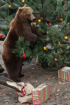 Kamchatka Brown Bear Mascha stands beside a Christmas tree ...