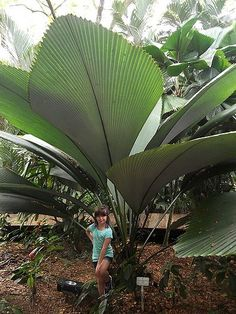Johannesteijsmannia altifrons - Joey Palm