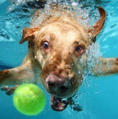 Labrador Dog Underwater playing with tanis ball Underwater Dogs, Secret Life Of Pets, Dog Wallpaper, Funny Dog Pictures, Unique Animals, Cute Funny Animals, Funny Cats, Family Dogs, Dog Photos