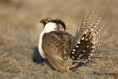 Gunnison Grouse Centrocercus minimus - Google Search