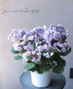 【花後価格】紫陽花 『ティンカーベル』 剪定後のお届けになる場合がございます。 | Flower Species | | Junk sweet Garden tef*tef*