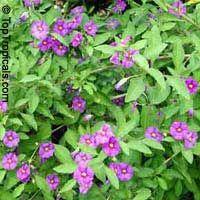 Solanum rantonnetii, Lycianthes rantonnetii (rantonnei), Blue Solanum Shrub, Paraguay Nightshade. Also known as blue potato bush, but also comes in purple. Should bloom Summer to Fall.