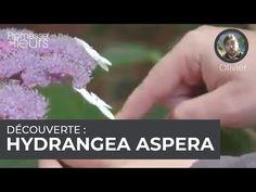 (380) Découverte : l'Hydrangea aspera - YouTube Hydrangea Aspera, Engagement, Crystals, Youtube, Gardens, Hydrangeas, Crystal, Engagements, Youtubers