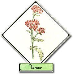 Growing Yarrow in Your Herb Garden