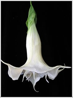 Datura, Thanks honey for putting these in our garden this year.  They are beautiful.