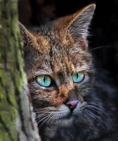 looks like spotted leaf from warrior cats I Love Cats, Crazy Cats, Cool Cats, Big Cats, Cats And Kittens, Vida Animal, Mundo Animal, Beautiful Cats, Animals Beautiful