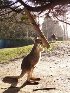 Kangaroo/Macropod enrichment.  Hanging tube with vegetables wedged in holes along the length.