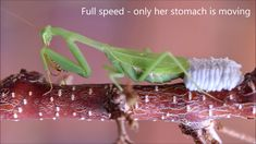 Praying mantis laying an ootheca of eggs