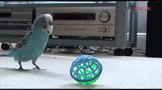 Timothy 'The Budgie' Playing Throw - The - Ball!