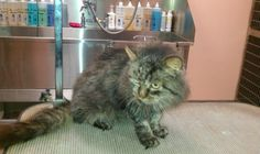 CONTACT is meowypurr2003@yahoo.com MUST HAVE HOME BY 1/19/13! Cat is in Clementon, NJage estimated to be 3-4 years by vet Cat was FELV+ on Elisa and IFAonce I brought him to my vet to be checked out in hope that maybe he had gotten lost in the storm  He also had a tumor on his side which was removed (vet said he was able to get all of it so should be fine) He is currently being held at my vet while I try to find a place for him, but he MUST have a home by 1/19/13. Will sponsor get all shots