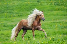 #horses  Haflinger Stallion