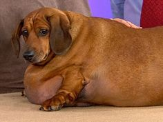 If you watched Live with Kelly and Michael last Friday you learned about Obie the dachshund who was rescued from his owners who overfed beyond reason.  I am recently lost my doxie of almost 18 yrs and Obie's story brought me to tears.  Share his story please.  Re-pin to show ur love of doxies and dogs and of course your support for Obie as he faces a big challege, and cheers to his foster Mommy!!!