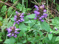 self heal ,heal-all - Prunella vulgaris