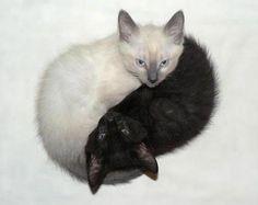 #Cats  #Cat  #Kittens  #Kitten  #Kitty  #Pets  #Pet  #Meow  #Moe  #CuteCats  #CuteCat #CuteKittens #CuteKitten #MeowMoe      Yin meet yang ...   https://www.meowmoe.com/28209/