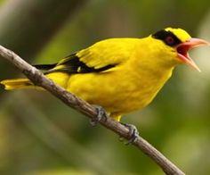 畫眉鳥叫聲 導讀:畫眉鳥是能鳴善鬥的鳥類,其鳴叫和打架的技能,都是經訓練才得到,一點一滴慢慢學來的。而且想飼養鳴鳥or善於打架的鳥,用不同的方法,來培養畫眉鳥,才是能成功對應技能的鳥兒。讓我們一起來看看吧!