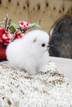 Top-qualit-chiot-Pomeranian-tasse-de-th-12semaines52819b77a584c390fe8a