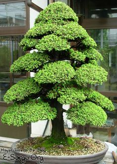 Large Bonsai