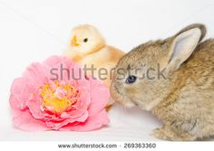 Little animals near pink camellia flower isolated on white background. #Animals #Pets #Farm #Domestic #Bunny #Chick #Flower #Camellia #Pink #Spring #Background #AnimalWallpapers #Card #Festive #Holidays #Friend #Puppies #Adorable #Sweet