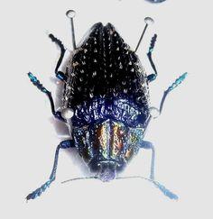 Polybothris sumptuosa gema from Madagascar Beetles, Madagascar, Insects, Animals, Animales, Animaux, Animal, Animais