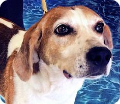 Wilmington, NC - Hound (Unknown Type) Mix.My name is Oliver, and I am a super sweet and gentle little hound dog. I get along great with other animals and enjoy my human friends too!! I would love to be your best friend.