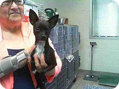 Grand Prairie, TX - Chihuahua Mix. Meet BEAUTY, a dog for adoption. http://www.adoptapet.com/pet/12682869-grand-prairie-texas-chihuahua-mix
