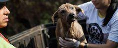 Quer ajudar os animais vítimas da tragédia e não sabe como? Veja algumas ações que estão sendo realizadas por ONGs e ativistas e faça sua contribuição.