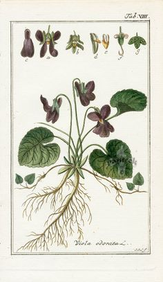 vintage violet botanical illustration - Google Search