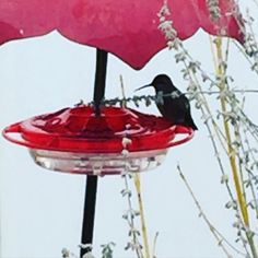 Keeping these little guys fed this winter.  Anna's hummingbirds winter over here in Oregon.  #hummingbird #annashummingbird #winterbirds #birds by fitz_and_frannie