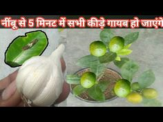 In today's video, I have brought the top secret method of destroying all the insects of the organic lemon in 5 minutes, House Plants Decor, Plant Decor, Terraced Vegetable Garden, Vegetables Garden, Home Made Fertilizer, Growing Lemon Trees, Homemade Wall Art, Lemon Plant, Gutter Garden