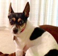 www.newrattitude.org DAISY MAE Rat Terrier: An adoptable dog in Baton Rouge, LA Small • Adult • Female