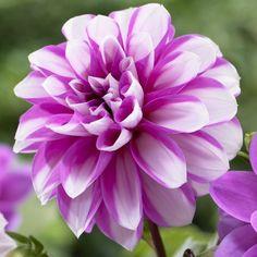 ~~Dahlia Waterlily Priceless Pink~~