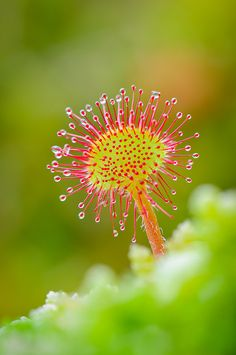 Drosera rotundifolia is a species of sundew, a carnivorous plant often found in bogs and marshes.