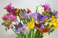 Scented Mixed Freesias for Christmas from Fentongollan Farm