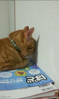 yurayuramonchi:  【画像】 友達んちの猫がかわいい - 〓 ねこメモ 〓