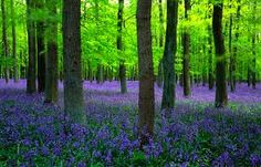 Bluebells in May at West Woods near Marlborough