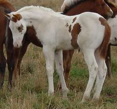 Gypsy Vanner Indian pony