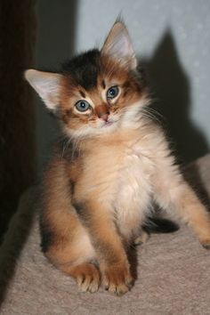Ruddy Somali Cat. So beautiful!