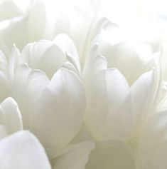Tulipes Blanches <3