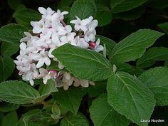 Judd's Viburnum (Viburnum x juddii)