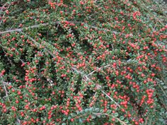Rockspray Cotoneaster? Horizontalis?- possible weave it along a vertical mesh for screen.