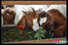 诗巫TYC Goat farm