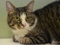 +++ SUPER #URGENT +++ #wlf #SHARE ~ TO BE DESTROYED 4/17/2015 #NYC #Manhattan Center ~ PLS #ADOPT #FOSTER immediately! ~ My name is YASMIN. My Animal ID # is A1033059. I am a spayed female brn tabby and white domestic sh. The shelter thinks I am about 7 YEARS old. I came in the shelter as a OWNER SUR on 04/13/2015 from NY 10027, owner surrender reason stated was HOUSE SOIL.